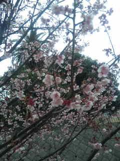 熱海には桜が…♪